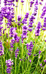 native plants of france best 25 lavender plant care ideas on pinterest lavender care