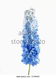 delphinium flowers plant single delphinium flower stock photos plant single