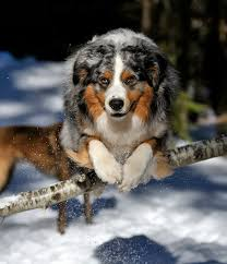 australian shepherd vocal trivia archives