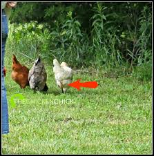 Small Backyard Chicken Coops by The Chicken Chick Poultry Lice And Mites Identification And