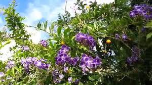 Duranta Erecta Blue Purple Flowers Geisha Goldy Green Hd