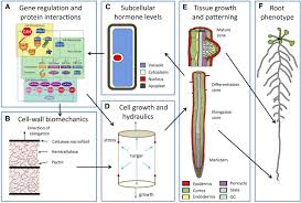 multiscale systems analysis of root growth and development