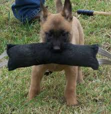 belgian sheepdog virginia belgian shepherd dog malinois puppy belgian malinois pinterest