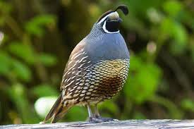 California Backyard Birds by How To Attract Quail Backyard Birding