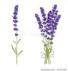 lavender flower design yahoo search results lavender