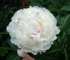 94 best peony images on pinterest beautiful flowers flowers