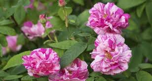 Fragrant Flowers Making Scents Of Your Garden U0027s Fragrance