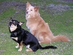 australian shepherd wolf mix best mixed dog breeds list dog breeds puppies identify mixed dog