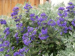 Bluebeard Flower - caryopteris blue mist shrub for summer blossoms
