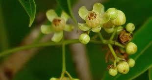 Teh Jatuh Dan Permintaan Terhadap Gula Meningkat khasiat di balik pahitnya biji mahoni galih gumelar