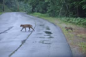 New Hampshire Wildlife images Bobcat in the backyard nh wildcat responding to detrimental jpg