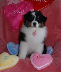 mdr1 australian shepherd joy australian shepherd caliquin australian shepherds u0026 english
