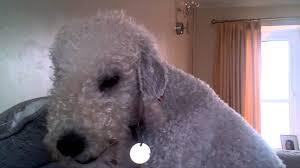 bedlington terrier guide bedlington terrier barking youtube