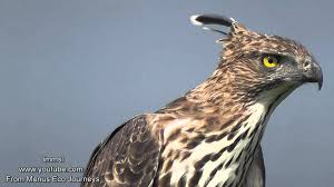 nature trees and birds crested hawk eagle or changeable hawk