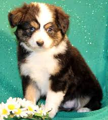 australian shepherd breeders near me bet toy miniature australian shepherd puppies for sale to al me