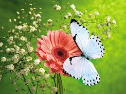 butterfly wallpapers impressive photos of butterfly colelction
