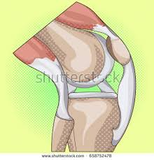 Neck Cross Sectional Anatomy Anatomy Knee Joint Cross Section Showing Stock Vector 493480255