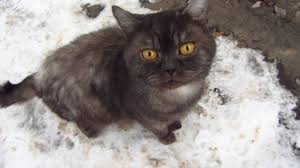 the cat purrs and meows on the snow youtube