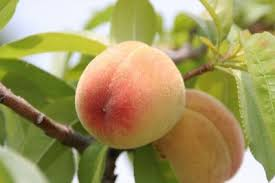 Peach Flowers No Fruit On Peach Trees What Do You Need For Peach Trees To Get Fruit