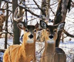 minnesota dnr extends ban feeding deer 11 counties