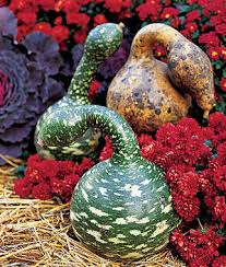 goose gourds gooseneck gourd seeds and plants vegetable gardening at burpee