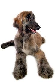 afghan hound puppies youtube afghan hound puppy party animals pets