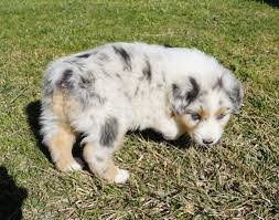 miniature australian shepherd 6 weeks puppies mountain wrangler aussies australian shepherd puppies