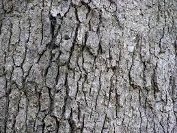 file white oak quercus alba tree bark 3264px jpg wikimedia commons