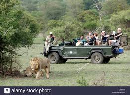 land rover africa safari tourists in an open landrover watching a lion panthera