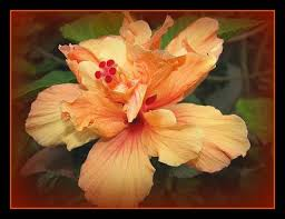 Which State Has A Hibiscus by Types Of Hibiscus Plants Hunker