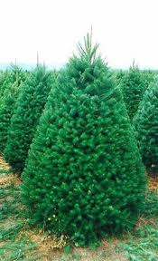 wholesale trees fresh from oregon tree farms