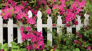 easy growing flowers for fences southern living