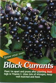 australian native plants for sale black currants ribes nigrum buy black currants plant 1m apart and