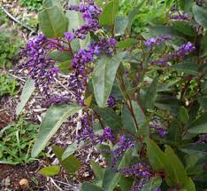 small australian native plants hardenbergia violacea native wisteria mallee native plants