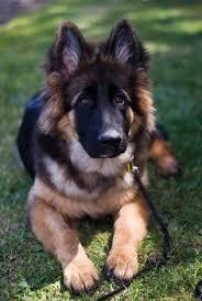 should i get a belgian tervuren malinois dog belgianmalinois german shepherd dogs all types w