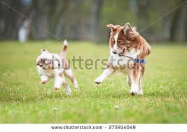 playing with australian shepherd puppy running stock photos images u0026 photography shutterstock