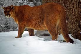 West Virginia wildlife images West virginia cougar winter snow wildlife free nature pictures jpg