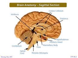 Gross Brain Anatomy Central Nervous System Ppt Video Online Download