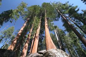 the of hyperion the world s tallest tree inhabitat