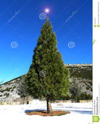 christmas trees for planting christmas lights decoration