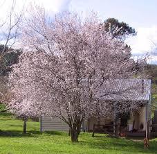 ornamental plum trees balingup small tree farm gardening
