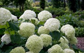 hydrangea white hydrangea arborescens incrediball