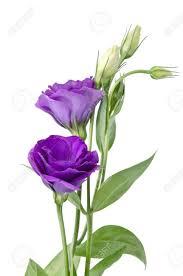 purple flowers light purple flowers isolated on white eustoma stock photo