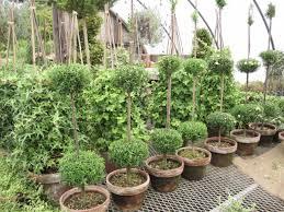 Herb Topiaries Henhurst Topiary Nirvana