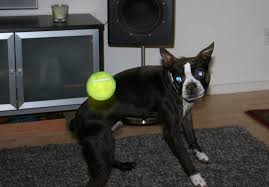 Boston Terrier Meme - i am watching the ball boston terrier with tennis ball funny