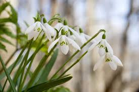 flower blooming when do snowdrops galanthus flower