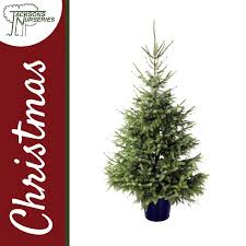 real serbian spruce christmas tree 2ft 5ft