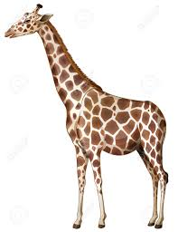 illustration of a giraffe on a white background royalty free