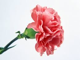 carnation flowers feature flower friday carnations