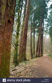 130 year sequoia trees sequoioideae at 55 metres some of